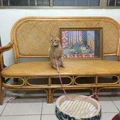 米香 Cat | Pawshake