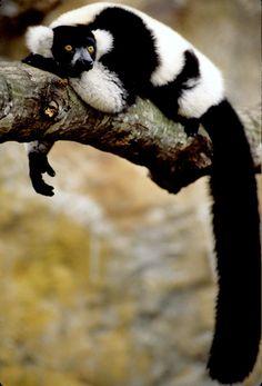 Lemur by ~Art-Photo(via captivating-animals) Madagascar, Primates, Mammals, Magnificent Beasts, Parc National, All Gods Creatures, Lemur, Patterns In Nature, Orangutan