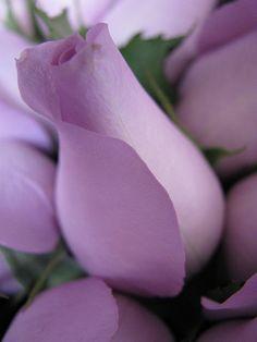 Lavender Rosebud