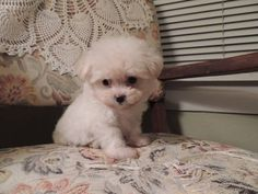 Their heads look so big when they are lil Puppies For Sale, Cute Puppies, Cute Dogs, Dogs And Puppies, Puppy Pics, Puppy Pictures, Puppy Love, Maltipoo Puppies, Yorkie