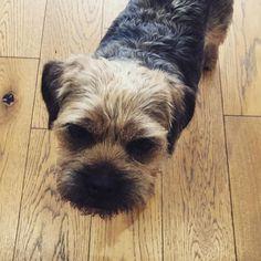 #dogsofinstgram #dog #dogsofinsta #borderterrier #mummysboy #GeorgeDavis