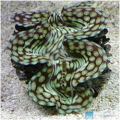 http://www.korallenriff.de/bilder/galerie/gross/2406.jpg
