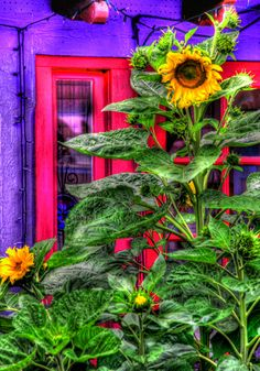 Sunflowers planted by squirrels in the Artist Village near Balboa Park in San Diego California. Photo by Paul Koester.