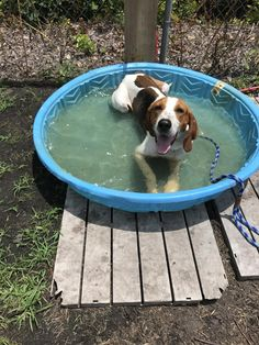 Meet Uncle Ray, an adoptable Foxhound looking for a forever home. If you're looking for a new pet to adopt or want information on how to get involved with adoptable pets, Petfinder.com is a great resource.