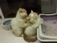 check this Gif by Giphyon cats kitten catsonweb cute adorable funny sleepy animals nature kitty cutie ca Cute Kittens, Cats And Kittens, Baby Kittens, Animals And Pets, Baby Animals, Funny Animals, Cute Animals, I Love Cats, Crazy Cats