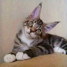 """Mi piace"": 23, commenti: 1 - Andrea Amaroli (@hollycoon_cattery) su Instagram: ""HOLLYCOON Brownie www.hollycoon.com #hollycoon #mainecoon #catsofinstagram #cat #kitten"""