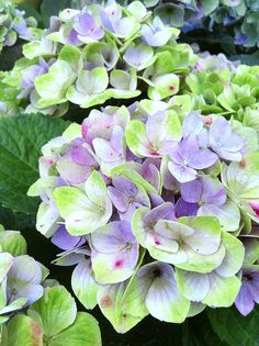 Lovely mix of green, blue and white: hydrangea macrophylla