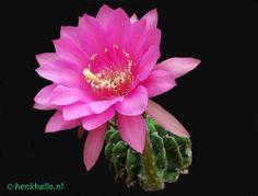 Echinopsis romance
