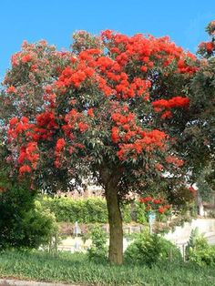 PlantFiles Pictures: Corymbia Species, Red Flowering Gum, Scarlet Flowering Gum Tree (Corymbia ficifolia) by Ulrich Australian Native Garden, Australian Native Flowers, Trees And Shrubs, Flowering Trees, Eucalyptus Ficifolia, Bush Garden, Screen Plants, Seaside Garden, Red Tree