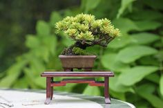 Bonsai - Small/Tiny/ miniature tree