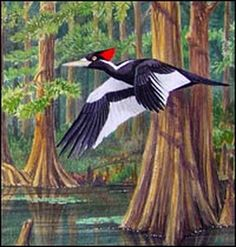 Ivory-billed woodpecker in flight