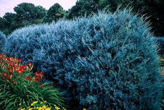 Blue Star Juniper Shrub For Sale Online Privacy Trees, Privacy Plants, Privacy Landscaping, Pool Plants, Backyard Privacy, Backyard Patio, Landscaping Ideas, Blue Point Juniper, Blue Star Juniper