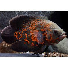 "This fish looks like a ""Gustav""!  ~T   Tiger Oscar Cichlid   Live Fish   PetSmart"