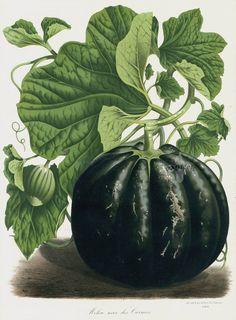 Black Melon. 1845, Van Houtte