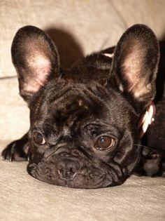 Bulldog Francés, French Bulldog Puppy❤️