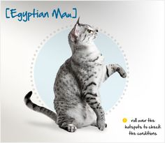 """Did you know that the word """"mau"""" is Egyptian for cat? Egyptian Maus are depicted in ancient Egyptian art and texts and were often worshiped as deities and prized pets. They were first brought to the US in 1956 by the exiled Russian princess Nathalie Troubetskoy and are one of the only naturally spotted breeds of cats! Learn more about this amazing breed at the Petplan pet insurance website: http://ow.ly/9vV4b"""