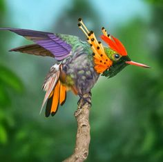 Tufted Coquette ( Lophornis ornatus ). What a wonderful little bird. Paradise in feathers!! MG