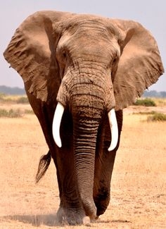 bio-diversity: African Elephant Keith Hull