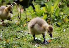 canadin geese baby:  This Photo was uploaded by octorine. Find other Squirrel pictures and photos or upload your own with Photobucket free image and video ho...