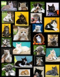 Welcome to our Photo Gallery of Maine Coon Kitens #cute animals
