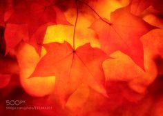 Autumn Gold - Pinned by Mak Khalaf Autumn on the Isle of Man Fine Art autumnbeautifulcolorcolorsfallleafleavesorangeyellow by clinthudson
