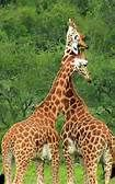 giraffes pictures - Bing Images
