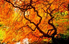 Gorgeous Japanese Maple at Butchart Gardens, Vancouver Island, British Columbia, Canada (© Barrett & MacKay/All Canada Photos/Corbis) Victoria British, Fall Images, Drawing Studies, Fellowship Of The Ring, Japanese Maple, Harvest Time, Vancouver Island, British Columbia, Holiday Fun