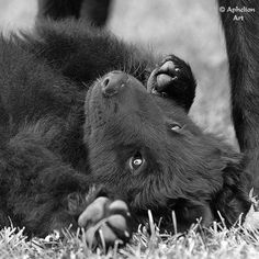 Groenendael – Black Belgian Shepherd. So freakin' adorable!
