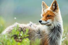 아마추어 사진가가 찍은 러시아 극동지역의 여우 가족(사진)