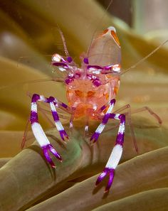 Jim Chambers - Anemone Shrimp