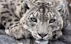 Snow Leopard: One of the most elusive of the endangered cats, with 4,200 - 600 spread over 770,o 000 square miles across 12 countries, their natural habitat is at an altitude of 9 -13,500 ft. via telegraph.co.uk. Image by Rex #Snow_leopard