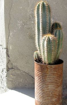 Cactus in rusty tin can Cacti And Succulents, Planting Succulents, Planting Flowers, Air Plants, Potted Plants, Indoor Plants, Cactus Plante, Cactus Cactus, Green Cactus