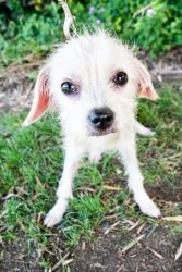 Three Good Fairies - Fauna is an adoptable Chinese Crested Dog Dog in San Diego, CA. Flora, Fauna, and Merriweather are three lovely ladies who deserve the beautiful grace that their names suggest. At...