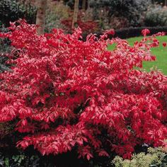 Euonymus    Google Image Result for http://www.gardenoasis.co.uk/images/Flora_Direct/Shrubs/Euonymus_Alatus.jpg