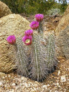 Cactus Cactus, Desert Cactus, Cactus Flower, Succulents Garden, Garden Plants, Desert Pictures, Echino, Surat Thani, Plant Design