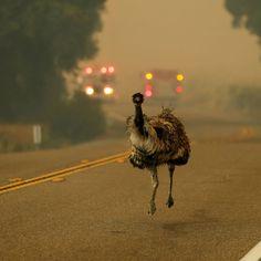 En Californie, un émeu fuit les flammes.