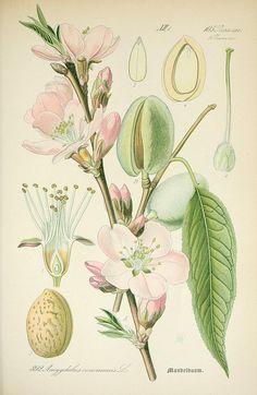 almond tree botanical