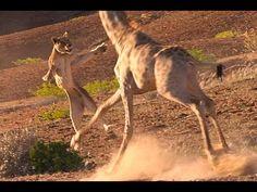 Giraffe Attacks Lion Giraffe VS Lion | IndiaNewsToday