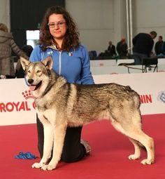 Ombrone di Fossombrone 1º B.O.S. alla Esposizione Internazionale Canina di Piacenza 2016.  #JuniorSaarloos #saarlooswolfhond