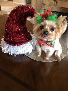 Yorkie, Santa Clause hat , Zoe Merry Christmas!