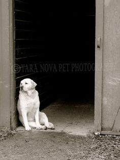 "Labrador retriever photography-dog photograph-yellow lab- 8x10 photo print-""Patience"". $35.00, via Etsy."