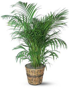 A areca bambu é usos melhores filtros naturais de ar que existem, segundo estudos. Além de remover diversos poluentes ela libera até um litro de água em 24 horas, sendo portanto um excelente humidificador..