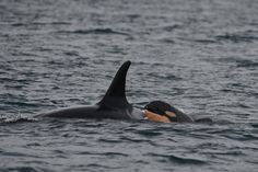 Designated J53, the orca calf is the fourth born to J17, a 38-year-old whale who is a grandmother to other orcas, J46 and J47. (Capt. Simon Pidcock of Ocean EcoVentures)