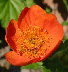 50-60 cm,vast,zon/halfschaduw Lotus, Plants, Lotus Flower, Planters, Plant, Lily, Planting
