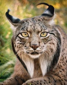 The Iberian Lynx, one of the world's most endangered wild cats. In less than 20 years the population decreased by until there were less than 100 of these rare wild cats, but thanks to conservation efforts, the population has risen to over Most Beautiful Animals, Majestic Animals, Rare Animals, Unique Animals, Funny Animals, Strange Animals, Wild Animals, Iberian Lynx, Pet Rats
