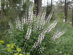 NATIVE. Baptisia alba - White Wild Indigo. Full sun to part-shade. Drought Tolerant. Attracts Butterflies. Height: 2 to 4 feet, Spread: 2 to 2.5 feet
