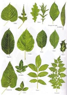 michigan tree identification by leaf identify trees by their leaves insidebookofleaves p35. Black Bedroom Furniture Sets. Home Design Ideas