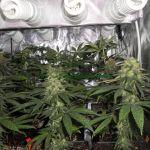Cultivo medicinal con Cfl