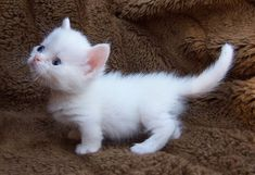 Adorable Napoleon Munchkin solid white kitten