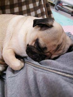 Sleepy pug cuddles